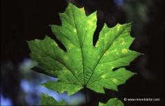 kanada-ahornblatt