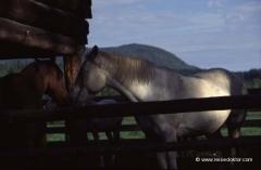 kanada-pferde_0