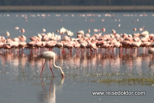 Flamingos im Lake Nakuru Nationalpark