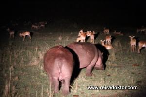 Flusspferde Nachtsafari