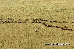 Gnus und Zebras vom Ballon, Masai Mara, Kenia