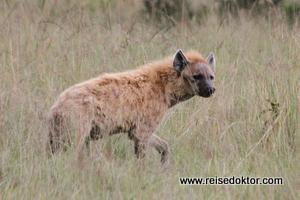 Hyäne in Kenia
