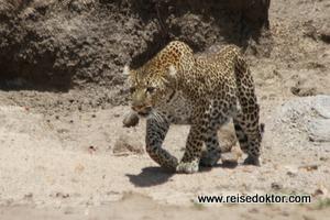 Leopard in Kenia