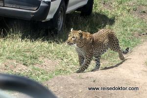 Leopard auf Beutezug
