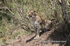 Leopard, Masai Mara, Kenia