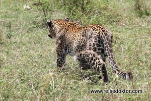 Leoparden in Kenia