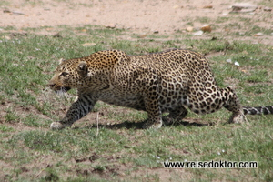 Leoparden in der Masai Mara, Kenia
