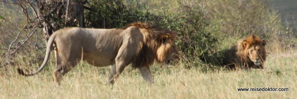 Löwen in Kenia