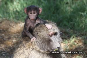 Pavian mit Baby auf dem Rücken