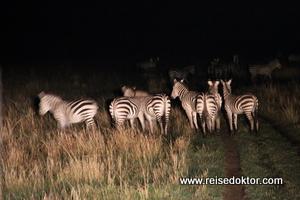 Zebras Nachtsafari