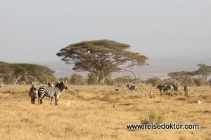 Amboseli Nationalpark, Kenia, Zebras