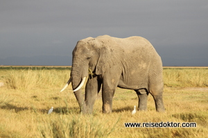Elefant Amboseli Nationalpark, Kenia