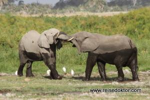 Elefantenpaar Amboseli Nationalpark, Kenia