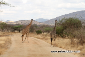 Giraffen im Tsavo West Nationalpark, Kenia