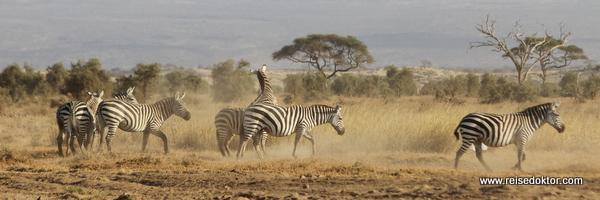 Zebraherde in Kenia
