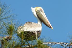 Pelikan auf Kuba