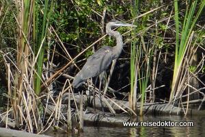 Reiher in den Mangroven auf Kuba