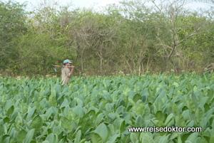 Kuba Tabakplantagen