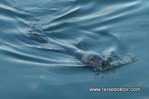 Seal, Hafen von Howth