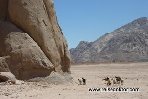 Ziegen in der Wüste, Hurghada