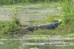 Krokodil in Nepal (Chitwan Nationalpark)