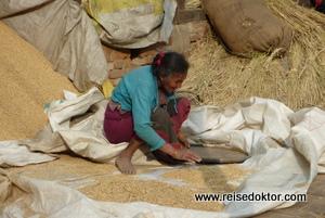 Reistrocknung in Nepal