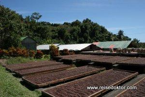 Kakao Trocknung auf Grenada