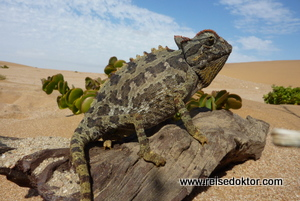 Chamaeleon Namibia