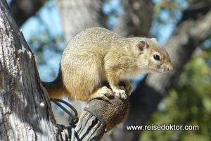 Erdhörnchen im Etoscha Nationalpark
