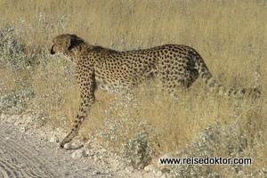 Etoscha Gepard