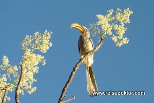 Gelbschnabeltoko Etoscha