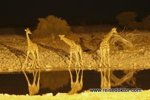 Giraffen im Okaukujeo Etoscha