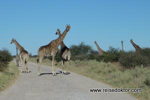 Giraffen auf der Straße im Etoscha