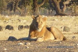 Löwe im Etoscha