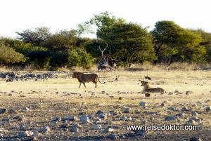 Löwen Etoscha Nationalpark