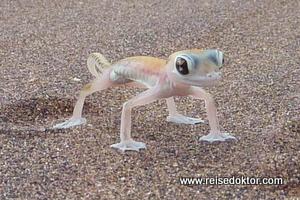 Namibia, Wüsten Gecko
