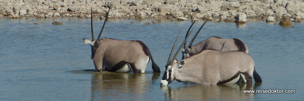 Oryx Antilopen Etoscha