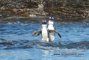 Pinguine auf Halifax Island