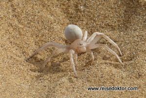 Spinne Swakopmund