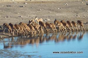 Wasserloch Etoscha Impala-Antilopen