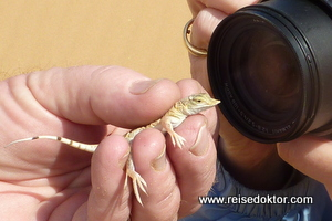 Wüsteneidechse Namibia