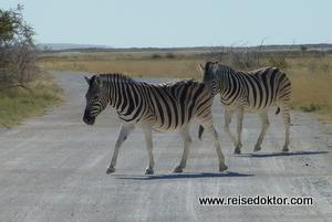 Zebras auf der Strasse im Etoscha