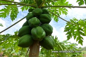 Papayaplantage