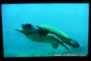 Grüne Meeresschildkröte - Suppenschildkröte