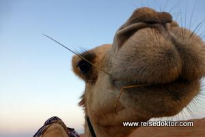 Kamel, Oman
