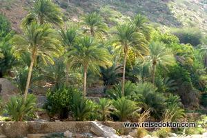 Palmen im Wadi Tiwi