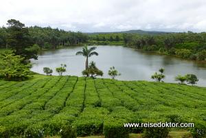 Teeplantage auf Mauritius