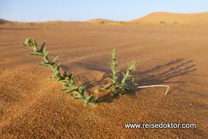Wüstenpflanzen