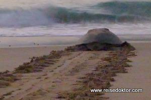 Schildkröten in Ras al-Jinz