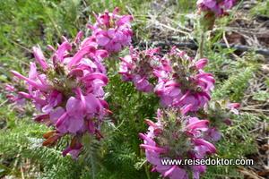 Blumen in der Mongolei